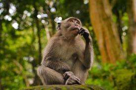A monkey, thinking